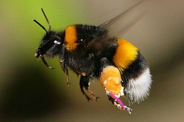 Bumblebeeflies